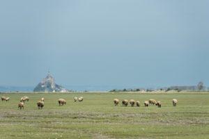 Die Wolle für die Pullover von Saint James kommt vom Schafen, die direkt am Meer weiden