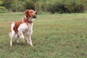 Epagneul Breton: verspielter Hund aus der Bretagne